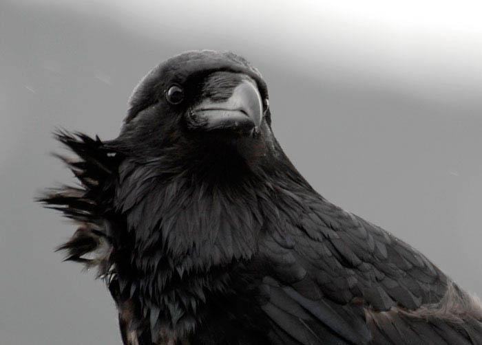 My Guy Raven photo by Sharon Grainger