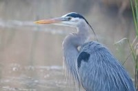 The real Great Blue Heron