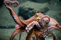 Pacific North West giant Octopus